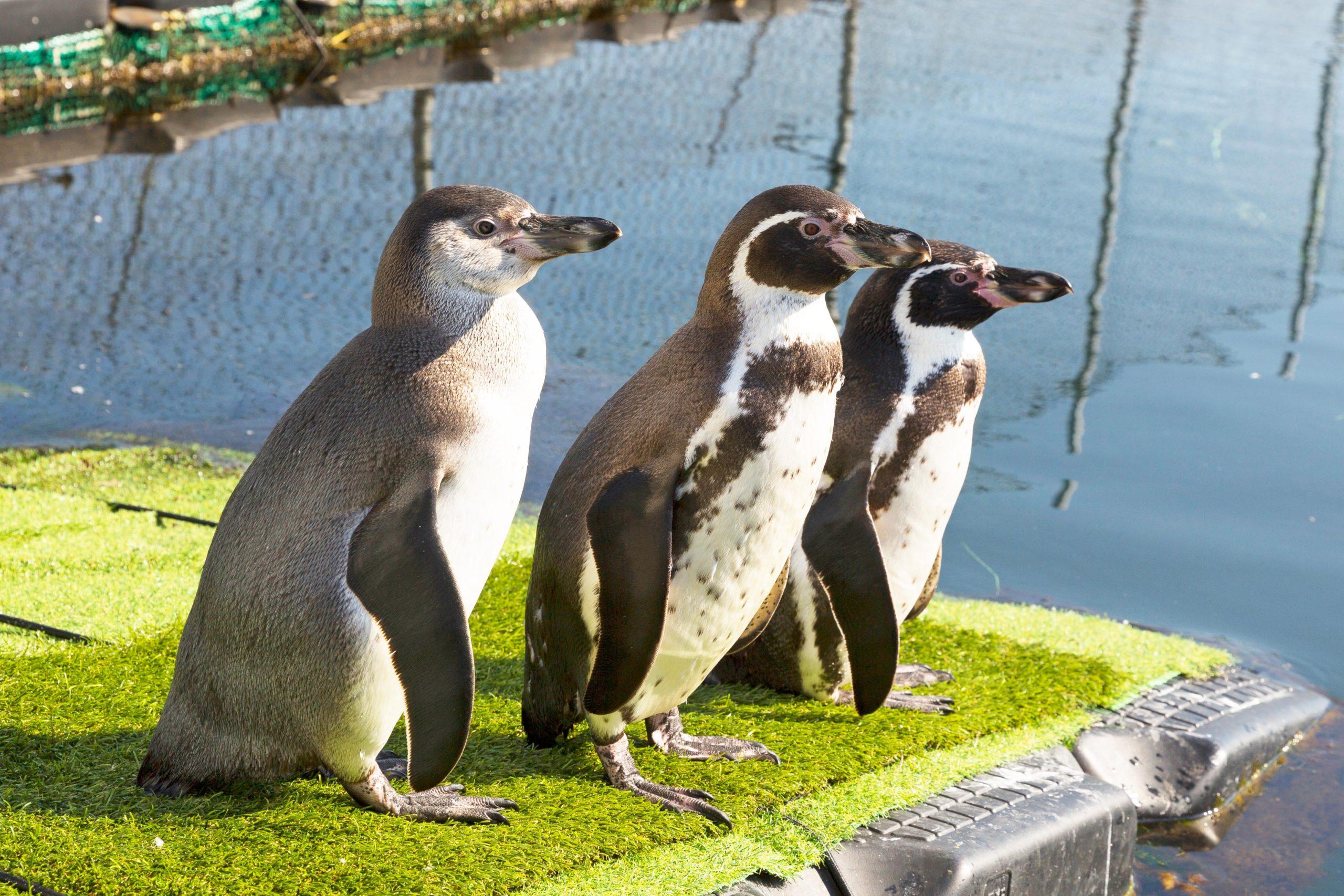"Humboldtpinguine im Projekt ""Hearing in Penguins"", Sebastian Conradt"